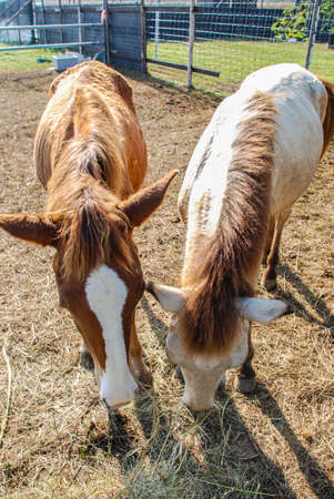 Two brown horses are eating grass in the stable  photo