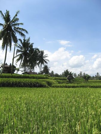 rice growing in rice paddies fringed with coconut palms in ubud bali photo