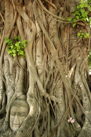 sacked: buddhas head in roots of bodhi tree in the ancient thai capital of ayutthaya