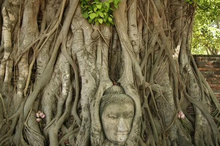 buddhas head nestled in the roots of bodhi tree in the ancient thai capital of ayutthaya photo