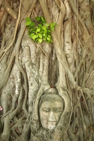 budhas head gripped by boddhi tree roots in the ancient thai capital of ayutthaya photo