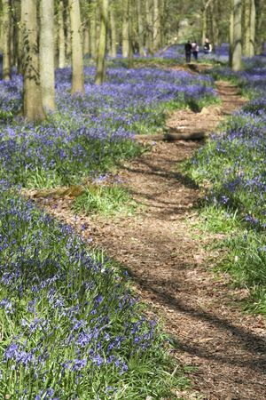 bluebell woods: people walking through the bluebell woods in ashridge in the chiltern hills herfordshire england
