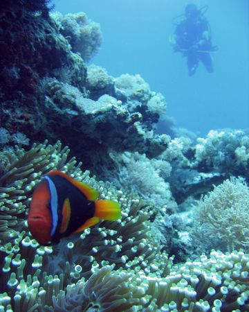 big clown fish: anenonme fish with diver above purto galera the philippines Stock Photo