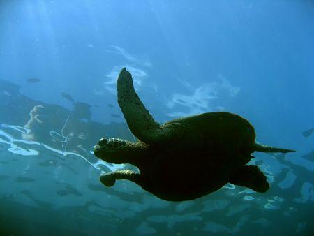 green turtle swims underneath dive boat in sipadan in sabah malayisan borneo photo