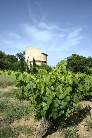 lourmarin: wine grapes in vineyard outside lourmarin in provence southern france Stock Photo