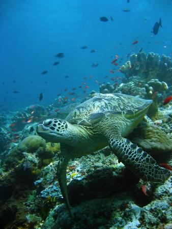 mabul: green turtle resting on coral reef sipadan in sabah malaysian borneo