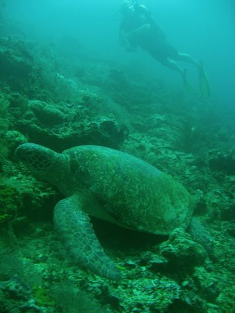 scuba diver and green turtle sipadan in sabah borneo Stock Photo - 6579315