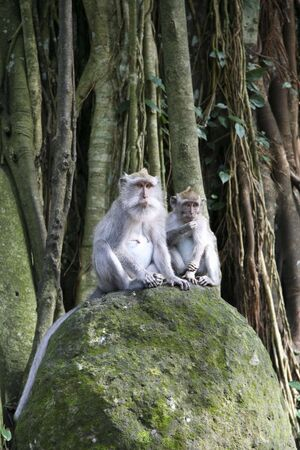 wild balinese Macaques in the monkey forest, ubud, bali photo