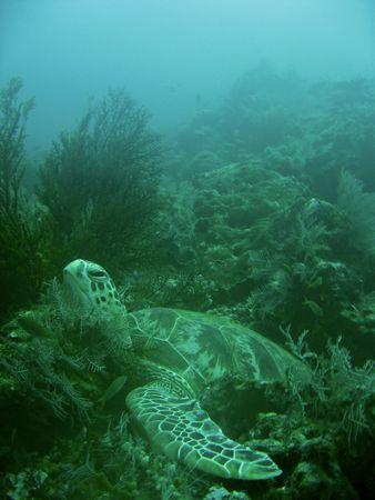 deep sea diver: green turtle resting in soft corals sipadan in sabah borneo