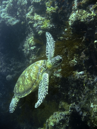 green turtle swimming at sipadan in sabah malaysian borneo photo