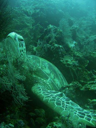 green turtle resting in soft coral sipadan in sabah borneo Stock Photo - 6625181