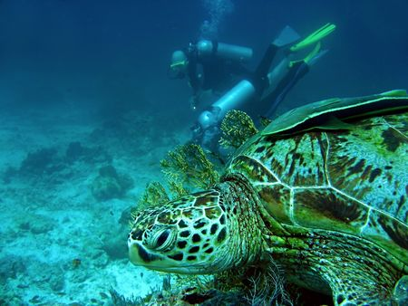 sea turtle with remora fish watching scuba divers sipadan in sabah borneo