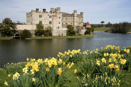 bright yellow spring daffodils on the banks of leeds castle moat in kent england Stock Photo