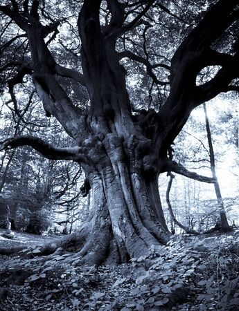 copse: ancient beech tree in Frithsden Copse near berkhamsted in hertfordshire england