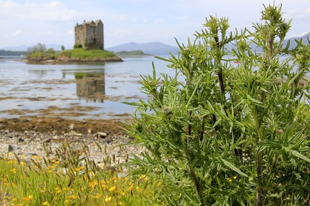 distel: Disteln w�chst am Ufer des Loch Linnhe im Argylle im Hochland von Schottland Lizenzfreie Bilder