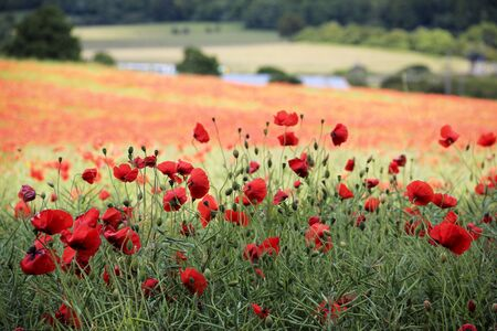 bright red poppies in a field on the chiltern hills overlooking aldbury village in hertfordshire england
