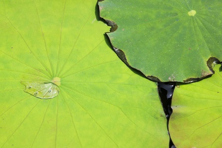 background of overlapping green water lilly pads in bangkok thailand photo