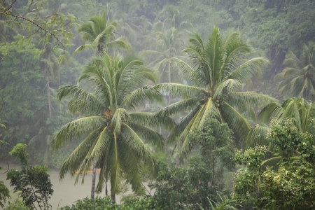 downpour: Heavy rain hitting the palm tress in the jungle surrounding the Loboc River on bohol island in the philippines