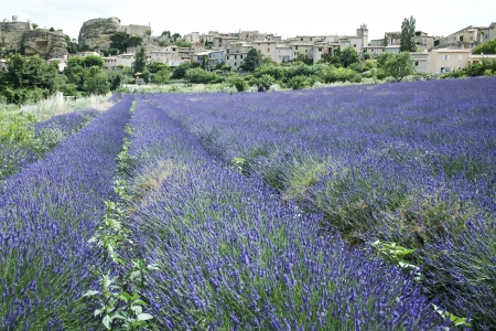 fields of lavender flowers in full bloom beneath a traditional french hillside town in provence france Stock Photo - 16517964