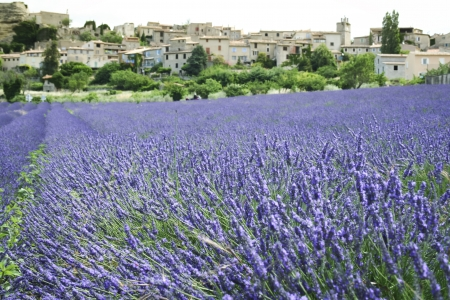 provencal: fields of lavender flowers in full bloom beneath a traditional french hillside town in provence france Stock Photo