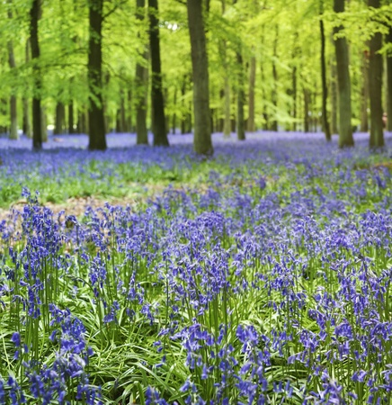 woodland scenery: small bluebellls flowers carpet the floor of ashridge woods near berkhamsted in the chiltern hills hertfordshire engalnd