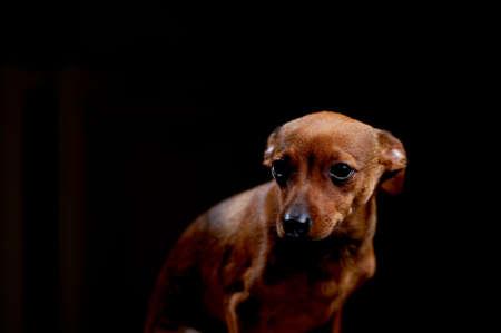 Little scared terrier on black, studio shot