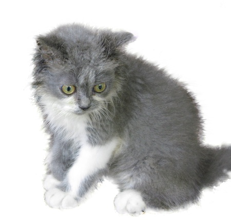 Cute grey and white colour persian kitten sitting alone