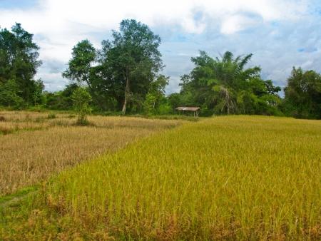 Small hut in rice field