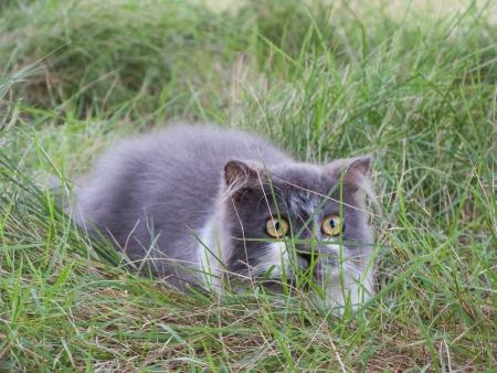 Persian cat play hide and seek in green yard photo