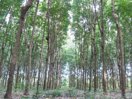 Rubber plantation, Eastern of Thailand