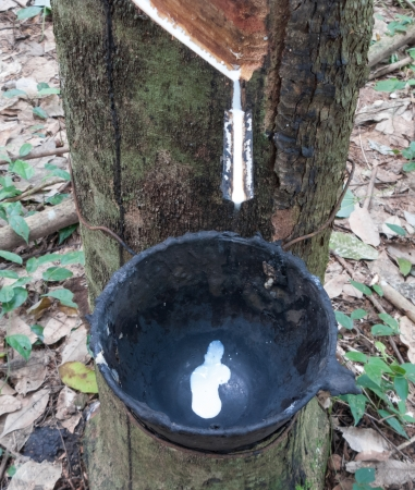 Milk from rubber tree flows to a bowl photo