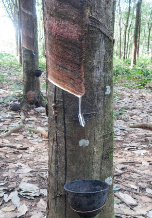 Rubber tree with a bowl photo