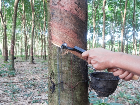 Gardener is tapping on rubber tree