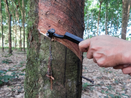 source of iron: Gardener is tapping on rubber tree
