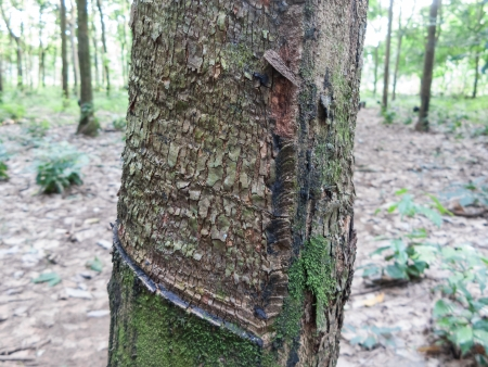 Rubber tree with dry bark Stock Photo