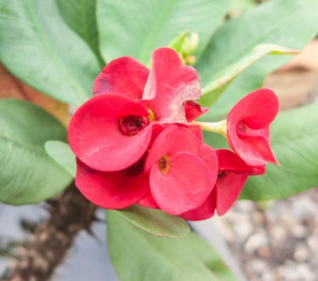 Crown of thorns or euphorbia milii flower Stock Photo