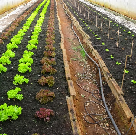 Lettuce farm in protecting net house