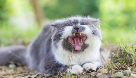 Persian cat yawning photo