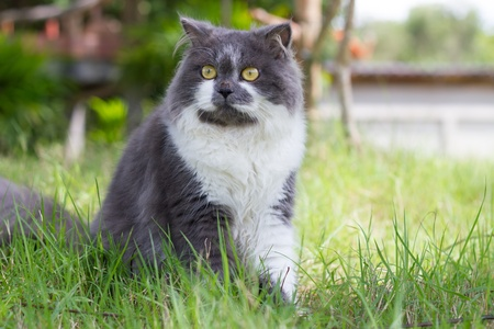 Grey-white persian cat sit in green yard photo