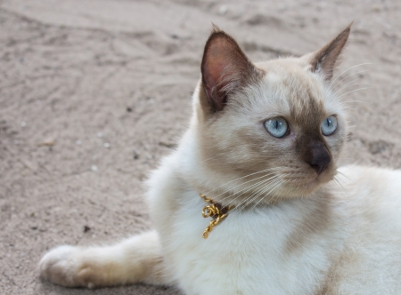 Cat with black nose lying on the sand