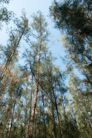 green grass among sunlight shined pines photo