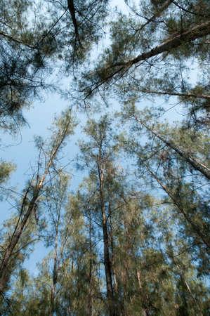 pines tree photo