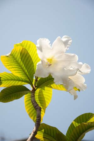 botanica: Beautiful white Thai flower on background sky Stock Photo