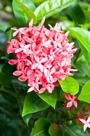 broom pink ixora flowers in garden