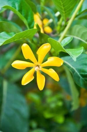 桅子花園林花卉宏 版權商用圖片