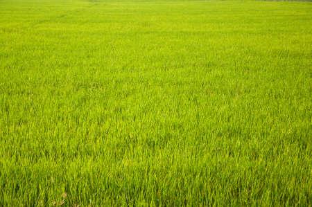 A field of Thai jasmine rice photo
