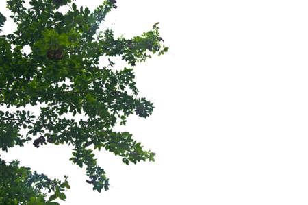 Green leaf and white sky from worm eye view 版權商用圖片