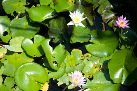 Lotus Thai-Beautiful fresh water for the garden. photo
