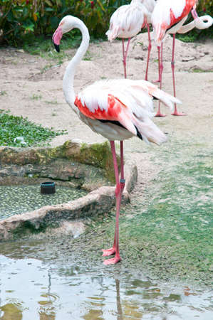 Flamingos in the water in ZOO Stock Photo - 11184984