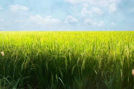 A field of Thai jasmine rice